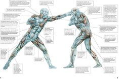 Frederic Delavier art Mixed Martial Arts Anatomy. Muscle reference source.