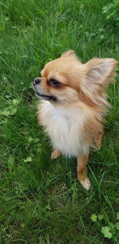 Eddy von Blue Ice Chihuahua, Corgi, Ice, Animals, Corgis, Animales, Animaux, Animal, Ice Cream