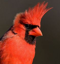 Northern Cardinal Adult male Long red crest Black mask and throat Thick red bill © Judy Howle, December 2008 Kinds Of Birds, Love Birds, Beautiful Birds, Northern Cardinal, State Birds, Cardinal Birds, Colorful Birds, Pet Birds, Birds 2