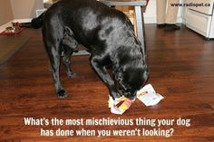 Up to mischief again?!?   #dogs #canine #pets #quotes #animals  #radiopet #dogfencing  Created by:  www.radiopet.ca