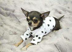 Such a precious little #chihuahua lover