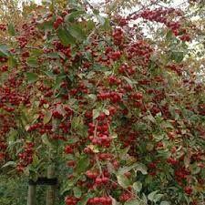 Résultats de recherche d'images pour «malus pleureur nain» Baumgarten, Garden Trees, Apple Tree, Flowering Trees, Images, Planters, Green, Flowers, Beautiful