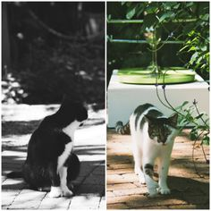 Hemingway Cats in Key West