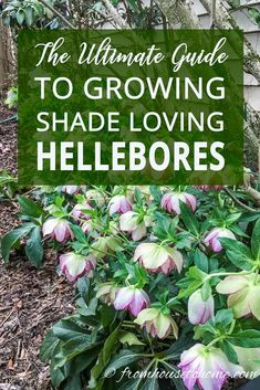 This guide on Hellebore care has lots of pictures and will answer all your questions on how to grow Hellebores (also known as Lenten Rose), including pruning, fertilizing, where to buy Hellebore and different varieties. #fromhousetohome #gardeningtips #gardenideas #shadegarden #plants #groundcover