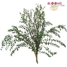 Eucalyptus Bonsai - Wholesale - Blooms By The Box