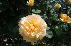 Kletterrose °Sophia , gelb - Renaissance Züchter Poulen 002 (Duftrose)