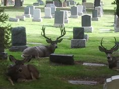 ~ The Salt Lake City Cemetery ~ Utah....Love the fact that White Tail Deer are relaxing among the Headstones....