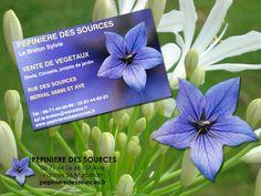 """Vente de Végétaux  Devis, Conseils, Projets de Jardin vivaces, fleurs estivales, plants de légumes. Arbustes de haies, arbres d'ornements, Pépinière des Sources - 56 Saint Avé  - Meucon-Berval Nord de Vannes  dans le Morbihan :  """"Les fleurs de la Pépinière""""  25, rue des Sources, Berval - 56890 Saint-Avé  syl.le-breton@wanadoo.fr  06 71 44 06 66 http://www.pepinieredessources.fr"""