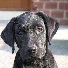 Black Lab puppy.