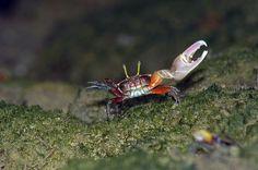 Porcelain fiddler crab (Uca annulipes)