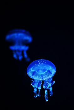 Spotted Moon Jellyfish