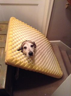 A dog who chewed through its own bed and got stuck.
