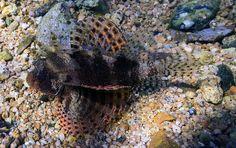 Bannerfish bay dive site Dahab Egypt Scorpionfish (Scorpaenidae) | Flickr - Photo Sharing!