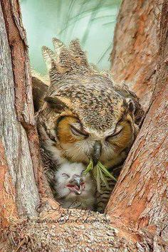 Mama owl is so damn tired. She just needs a nap, but baby owl will not settle down. Mama is about to regurgitate some Benadryl and bourbon into that baby's beak.sleep now, baby owl. Beautiful Owl, Animals Beautiful, Pretty Birds, Love Birds, Cute Baby Animals, Animals And Pets, Baby Owls, Funny Animals, Wild Animals