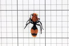 Velvet ant, Order Hymenoptera: Suborder Apocrita: Family Mutilidae (Female) (Top View) J. Cauthorn