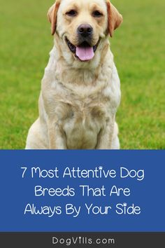 Are you wondering which the most attentive dog breeds are?    You might if you're looking for a dog that's loyal, friendly, and easy to train. Therapy Dog Training, Therapy Dogs, Emotional Support Animal, St Bernard Dogs, Most Popular Dog Breeds, Herding Dogs, Fluffy Dogs, Bichon Frise, Small Dog Breeds