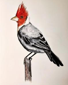 "Elin Holm on Instagram: ""Paroaria coronata (ElinArt -August 2019) #birds #paroariacoronata #norskkunst #norskkunstner #nature #norwegianart #bird #fugl…"" Birds, Nature, Animals, Instagram, Art, Animales, Animaux, Bird, Kunst"