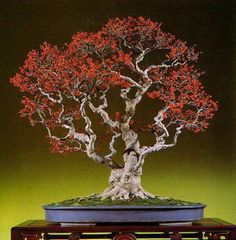 An Acebo Caducifolio. Ilex Serrata, by Dario Ascoli. #bonsai