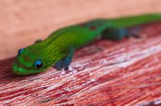 Gold Dust Day Gecko - Phelsuma laticauda By Jacob W. Frank Photography