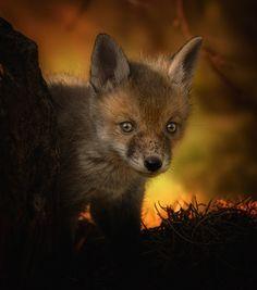 Red Fox Cub by clintnewsham - Clint Newsham on 500px