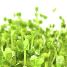 Organic broccoli sprouts FreshSprouts.dk