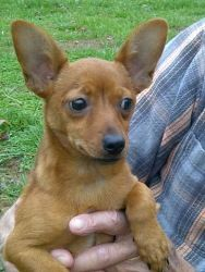 Radar is an adoptable Chihuahua Dog in Raleigh, NC. Radar is about 16 weeks old. She has the cutest ears ever! She is a really sweet puppy who gets along with everybody and everything. She is in need ...
