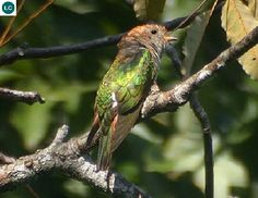 "https://www.facebook.com/WonderBirdSpecies/ Asian emerald cuckoo (female)(Chrysococcyx maculatus); Indian Subcontinent, China and Southeast Asia; IUCN Red List of Threatened Species 3.1 : Least Concern (LC)(Loài ít quan tâm) <("") Tìm vịt lục bảo châu Á/Tìm vịt xanh (mái); Tiểu lục địa Ấn Độ, Trung Hoa và Đông Nam Á; HỌ CU CU - CUCULIDAE (Cuckoos)."