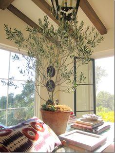 Olive tree indoors...yep my house will look like a rainforest... haha