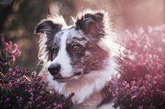 Hunde - Felli Photography - Vicky Fellinger Online Galerie, Dog Photography, Husky, Dogs, Animals, Photo Shoot, Animales, Animaux, Pet Dogs