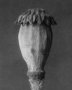 Karl Blossfeldt was a German photographer, sculptor, teacher and artist who worked in Berlin, Germany. Karl Blossfeldt, Bio Design, Natural Form Art, Seed Pods, Patterns In Nature, Land Art, Botanical Art, Photo Art, Poppies