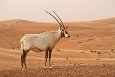 Arabian Oryx. Its elegant, long horns and white hue make it one of Israel's most beautiful creatures.