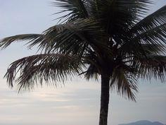 Coqueiro na praia em Santos, SP. Brasil  by Luisa Couto