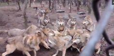 Dans un parc animalier, un touriste a filmé l'attaque d'une meute de loups sur un loup oméga, le plus fragile du groupe.