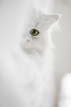 pretty white cat peeking
