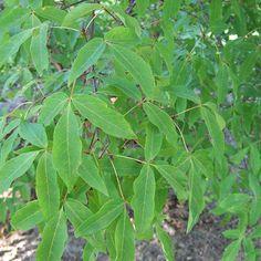 Savannah holly savannah small ornamental tree a to z landscaping llc