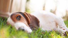 Daydreaming Basset Hound Dog