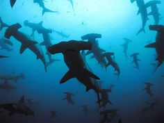 Scalloped Hammerhead Sharks, Galapagos islands