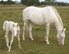 Perlino (mare) Cremello (foal) - both DNA tested confirmed color