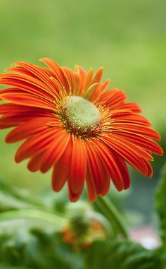 A lovely red Gerbera in store now