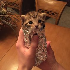 Would've absolutely bitten into this kittenrito.