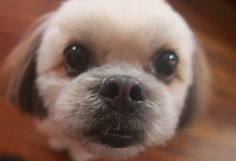 """Shih Tzu hair cut...looks like Cubby after a visit to the groomers for her """"summer"""" look"""