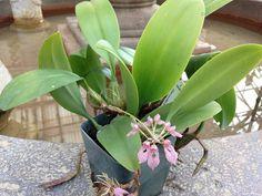 Bulbophyllum fenestratum CH-21873 #bulbophyllum #cirrhopet… | Flickr