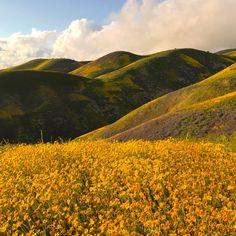 Apr. 9, 2017 Carrizo Plain by graylighthunter A sea of purple, orange and gold! I encourage any of you who can, come out to see the California superbloom. It is one in a generation. Best one in 30 years.