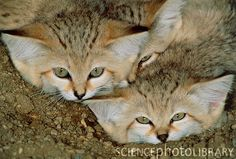 Arabian Sand Cat also known as the Sand Dune Cats are the only desert dwellers of the wild cat family. They are prolific diggers, and their claws are not very sharp for lack of places to sharpen them in the desert. It doesn't matter how small OR cute they are, they do NOT make good pets....they are wild animals. You cannot take a wild animal and domesticate it.