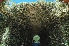 Túnel de Trachelospermum jasminoïdes( falso jasmim )