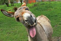 More Burro to Ya! (Another Class Clown. Smiling Animals, Farm Animals, Animals And Pets, Funny Animals, Cute Animals, Laughing Animals, Donkey Funny, Cute Donkey, Donkey Donkey