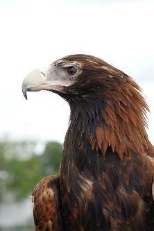 Wedge Tailed Eagle - such an impressive Australian bird # eagles , Reptiles, Mammals, Beautiful Birds, Animals Beautiful, Beautiful Creatures, Aquila Audax, Wedge Tailed Eagle, Australia Animals, Bird Aviary