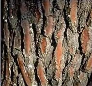 Pycnogenol is a derivative of an ancient Ojibwe medicine from the bark and needles of pine trees  Pycnogenol has been hailed as the most potent, natural antioxidant compound ever discovered by science, considered by many health experts to be the nutritional breakthrough of the twentieth century!