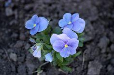 blue violets preview