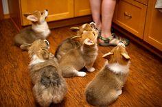 Corgi Puppies at Ten Weeks 31. I wish my job was to tend to corgis 24/7. #corgis